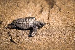 Ruta de la Tortuga Marina - Turtle Release. PHOTO: ISA / Sean Evans