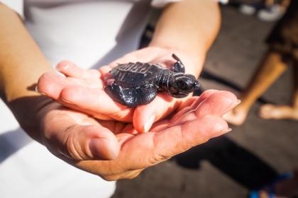 Ruta de la Tortuga Marina – Liberación de Tortugas Marinas